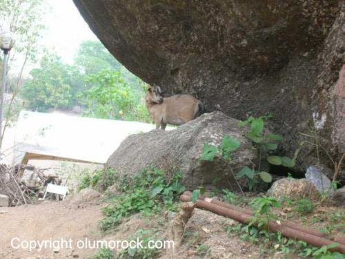 One of the resident goats on Olumo rock